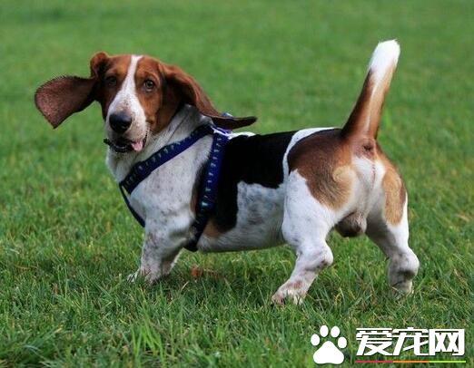 巴吉度猎犬哪里有 巴吉度猎犬产地法国